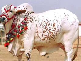 Best Bakra Eid ul adha HD wallpapers free download